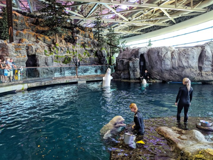 Shedd Aquarium Belugas