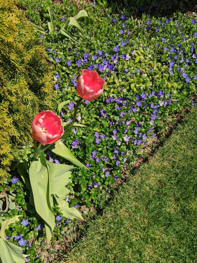 spring florals in my garden tulips