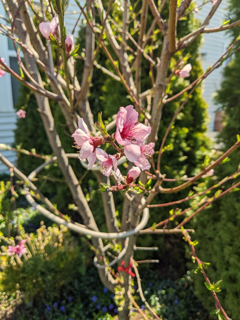 spring florals in my garden peach tree