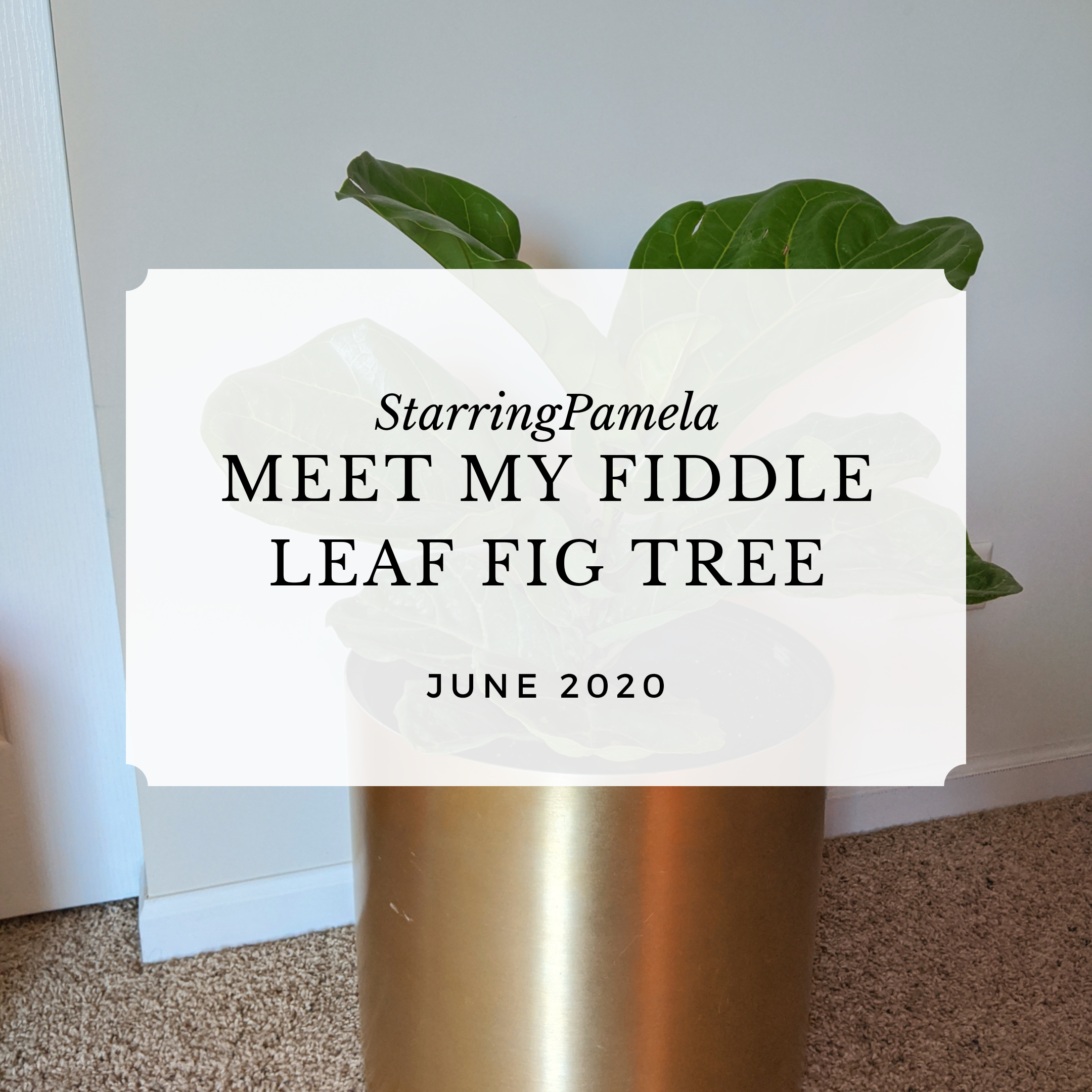 meet my fiddle leaf fig tree featured image