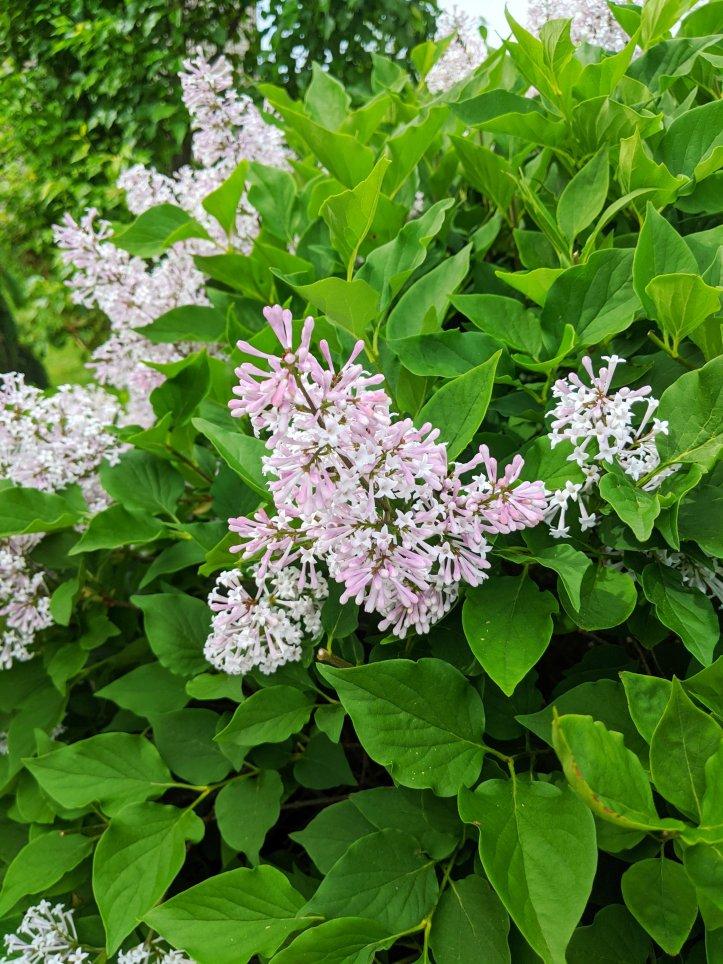 summer florals in my garden lilac
