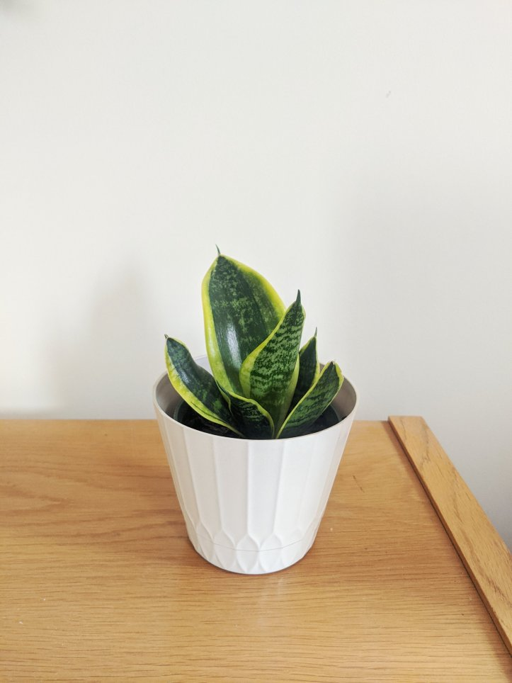 new indoor plants birthmay snake plant