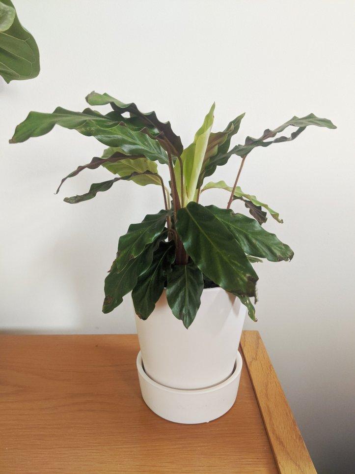 new indoor plants birthmay blue star fern